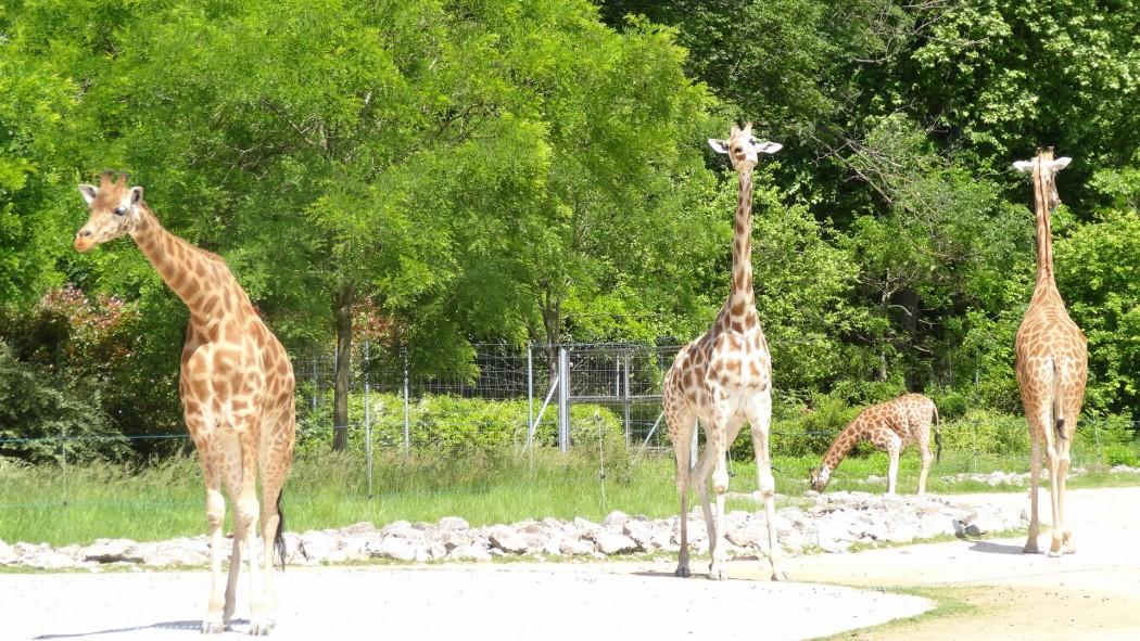 Zoo Girafes Lyon