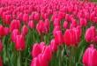 Rien que des Tulipes : Visite de Keukenhof !