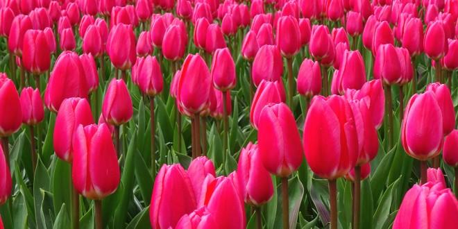 Keukenhof - Amsterdam tulipes