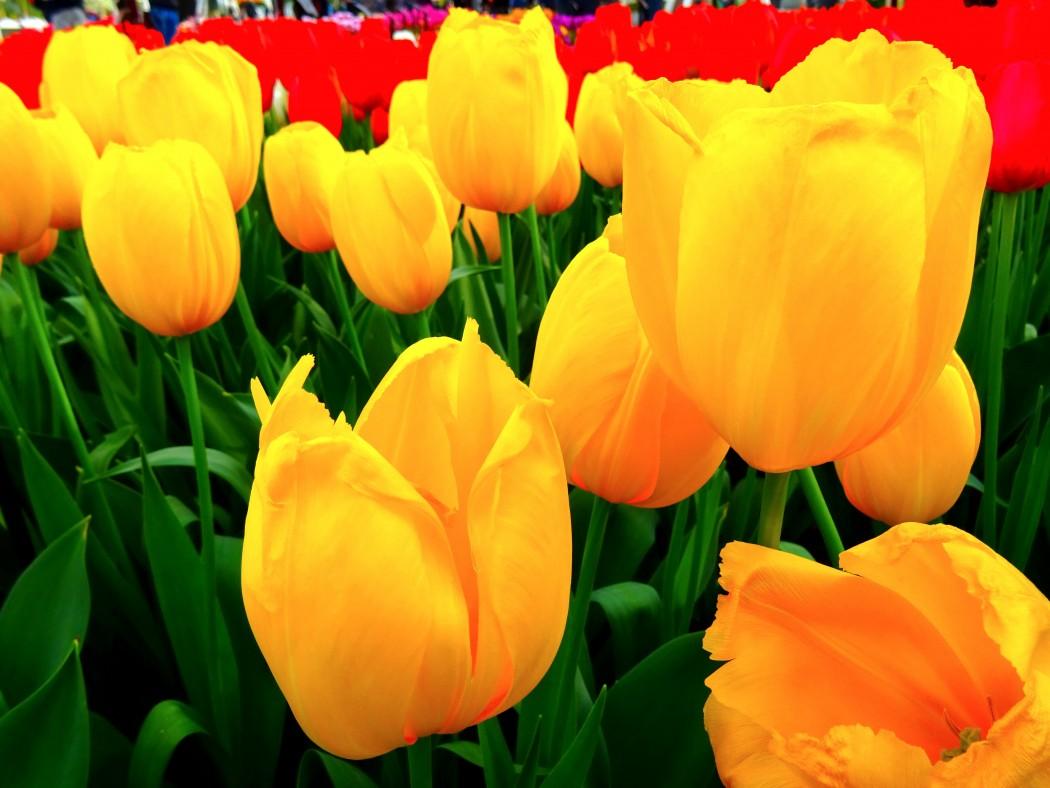 Keukenhof Tulipes